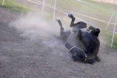 Zwart paard dat in vuil rolt stock foto's