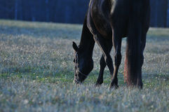 Zwart paard in de weide Stock Afbeelding