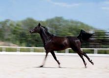 Zwart paard die bij gebied in de zomer, de achtergrond van het motieonduidelijke beeld lopen Nacht-kraai hengst die langs de zand stock foto