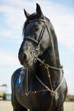 Zwart paard die zich op renbaan bevinden Stock Foto