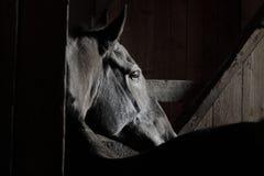 Zwart paard in een stal Royalty-vrije Stock Fotografie