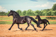Zwart paard en het zwarte veulen galopperen royalty-vrije stock afbeelding