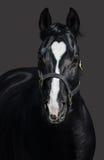 Zwart paard in halter met hartteken Gekleurde Unigue en zeldzaam Stock Afbeeldingen