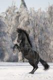 Zwart paard Kladruber Stock Afbeelding
