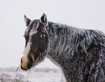 Zwart paard met vorst Royalty-vrije Stock Foto