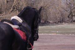 Zwart paard met zadel en teugel Royalty-vrije Stock Fotografie