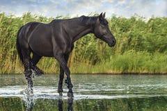 Zwart paard op het water stock foto
