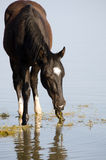 Zwart paard in water Stock Foto
