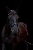 Zwart paardportret op zwarte achtergrond Stock Fotografie