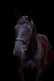 Zwart paardportret op zwarte achtergrond Stock Foto's