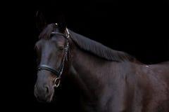 Zwart paardportret op zwarte achtergrond Royalty-vrije Stock Afbeelding