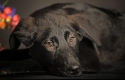 Zwart Puppy Stock Afbeeldingen