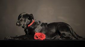 Zwart Puppy Royalty-vrije Stock Afbeelding
