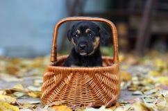 Zwart puppy in een mand Stock Afbeeldingen