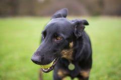 Zwart puppy met een bal Stock Foto