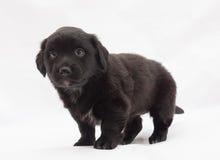 Zwart puppy met witte vlekken Stock Afbeeldingen