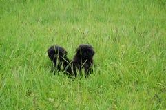 Zwart puppy twee in aard, Royalty-vrije Stock Afbeelding