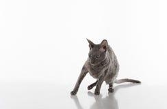 Zwart Rex Cat Sitting Van Cornwall op de Witte Lijst met Bezinning Witte achtergrond Portret scared royalty-vrije stock afbeeldingen