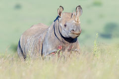 Zwart Rinocerosportret, het Nationale Park van Nairobi, Kenia Royalty-vrije Stock Afbeeldingen