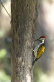 Zwart-Rumped flameback vogel in Nepal Stock Foto's