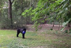 Zwart Russisch Terrier met een Blauwe Bal Stock Afbeeldingen