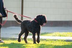 Zwart Russisch Terrier op een leiband in het stadspark stock foto