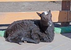 Zwart schapen Royalty-vrije Stock Foto's