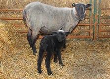 Zwart schapen Stock Foto