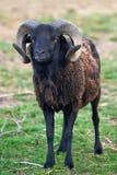 Zwart schapen Royalty-vrije Stock Afbeelding
