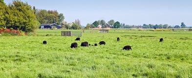 Zwart schapen in Nederlands landlandschap stock afbeelding