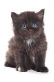 Zwart Siberisch katje Stock Afbeeldingen