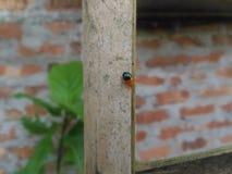 Zwart-sinaasappel bettle stock foto