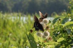 Zwart Swallowtail-Vlinderduo op Buttonbush-Bloei door een Meer royalty-vrije stock afbeeldingen