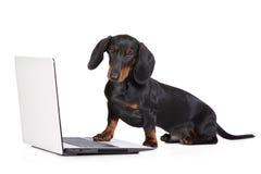 Zwart tekkelpuppy die aan een computer werken stock fotografie