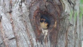 Zwart-Thighed falconet microhierax fringillarius leuke vogels in holle boom stock footage