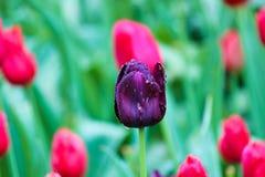 Zwart tulpendetail De tulp werd beïnvloed door bloemziekte Paddestoelen, schimmel, botrytis, myceliumziekten Donkere purpere bloe royalty-vrije stock afbeelding