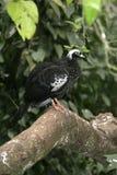 Zwart-uitgezien op guan-guan, jacutinga van Penelope Royalty-vrije Stock Afbeelding