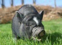Zwart varken royalty-vrije stock foto's