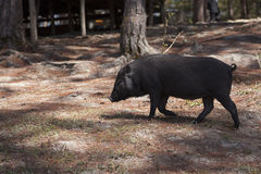 Zwart varken royalty-vrije stock afbeeldingen