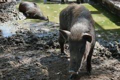 Zwart varken stock foto
