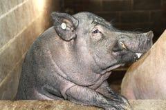 Zwart varken stock foto's