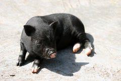 Zwart varken stock afbeelding