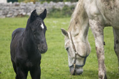 Zwart veulen met witte merrie, Connemara stock fotografie