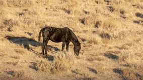 Zwart wild mustang in de woestijn royalty-vrije stock afbeeldingen