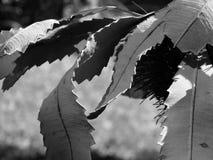 Zwart-wit Banksia-bladeren Stock Afbeelding