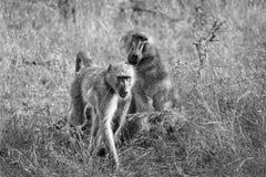Zwart-wit beeld van bavianen in de wildernis royalty-vrije stock foto