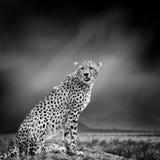 Zwart-wit beeld van een jachtluipaard stock afbeelding