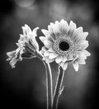 Zwart-wit beeld van twee gerberamadeliefjes en bokeh achtergrond royalty-vrije stock foto's