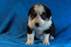 Zwart-wit Border collie-puppy stock afbeelding