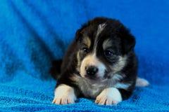 Zwart-wit Border collie-puppy royalty-vrije stock afbeeldingen